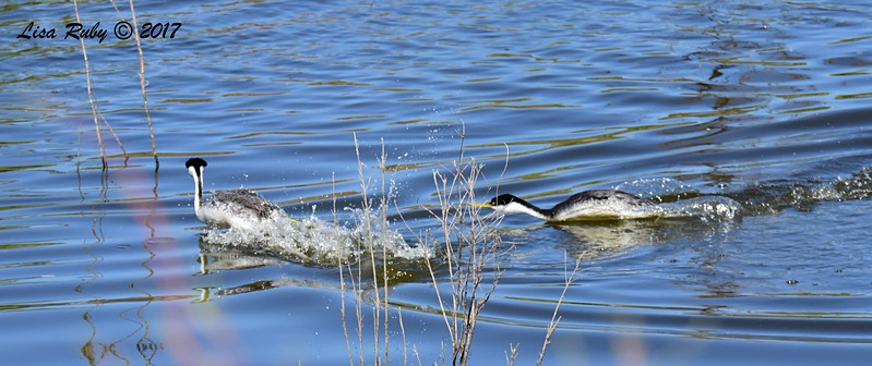 Western Grebes having a territorial altercation - 6/14/2017 - Lake Hodges Bernardo Bay Trail