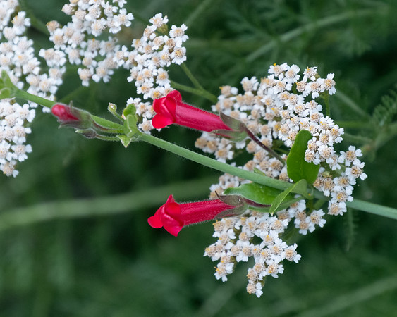 12 July 2017.  And in front, the yarrow and bush snapdragon, both Californians, both species, present a nice enough display up close ... even if they don't work as well in the larger picture.