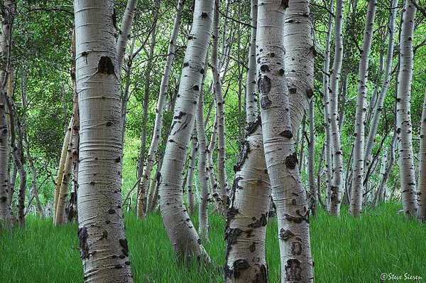 Aspen near Grant Lake, 