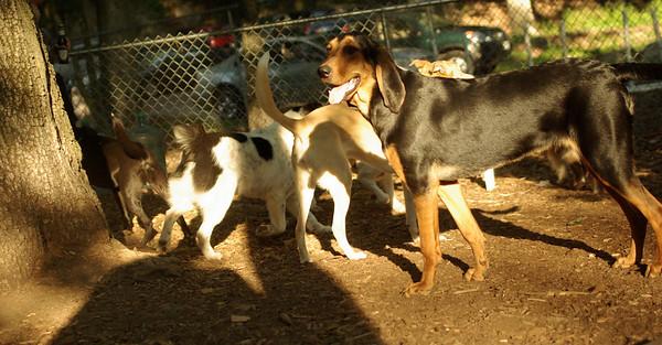 PICS JUNE 13::SAMMY (new, coonhound)