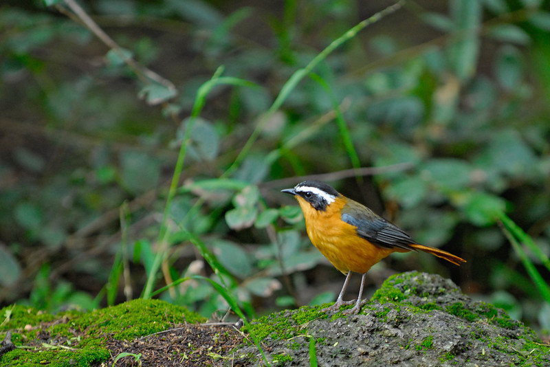 White-browed Robin-Chat.JPG