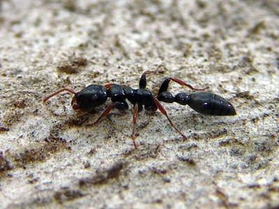 subfamily Pseudomyrmecinae