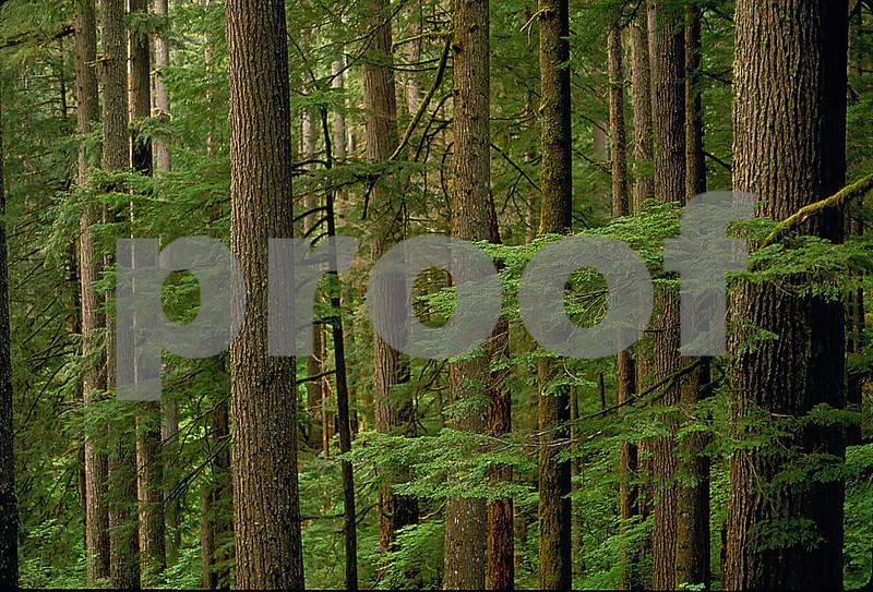 Doug fir 91.02.44 hi res_edited-1.jpg