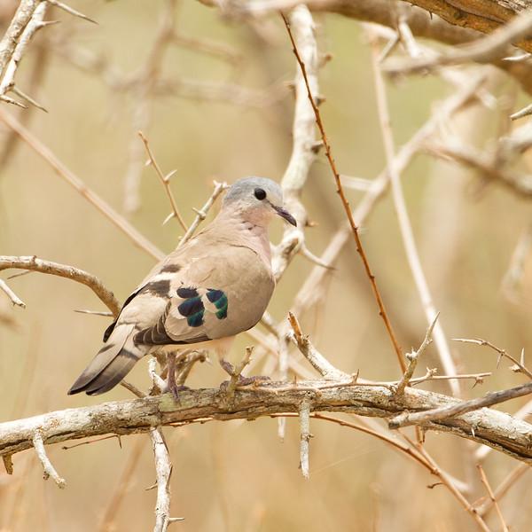 Emerald-spotted Wood-Dove - Tarangire National Park, Tanzania
