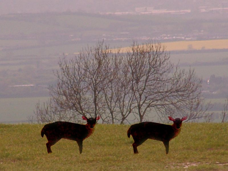 deer on the downs.jpg