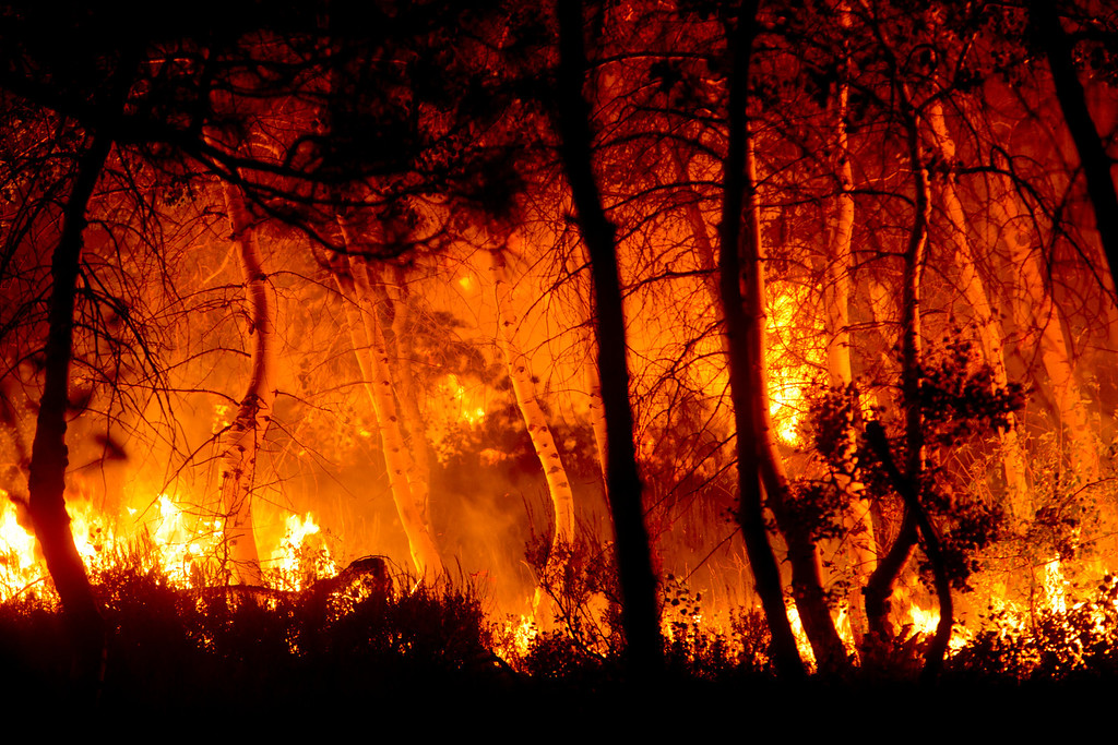. Aspen trees catch fire during a back burn near Pine, Idaho set by firefighters fighting the Elk fire Wednesday Aug. 14, 2013.   (AP Photo/Idaho Statesman, Kyle Green)