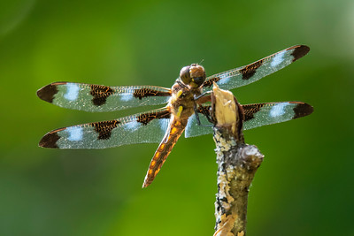 August 11, 2019 - Dragonflies
