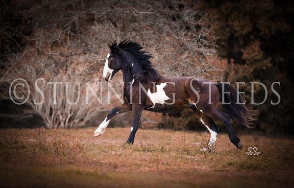Creed - Percheron. Painted Shire x Quarter Horse
