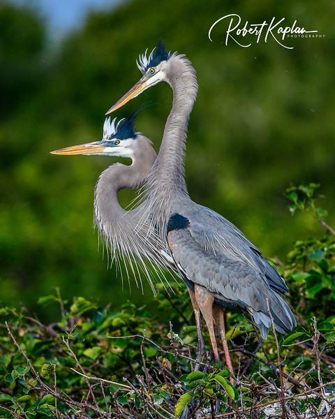 Great Blue Heron Portrait-9834.jpg