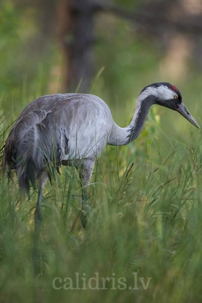 Common Crane in grass
