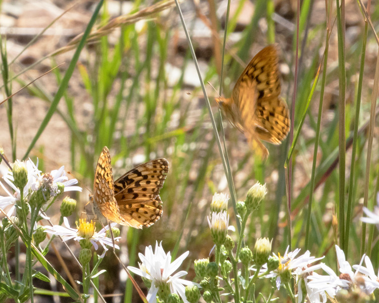 Atlantis Frillitary in Mountain Meadow of Wasatch Mountains