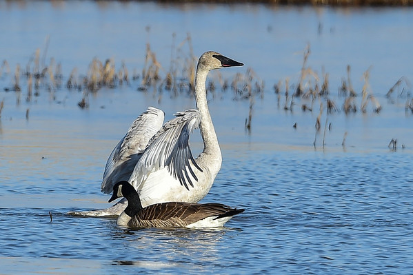 4-14-14 Trumpeter Swans