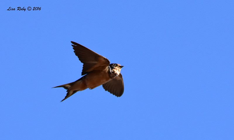 Barn Swallow  - 11/2/2016 - Lake Hodges Bernardo Bay