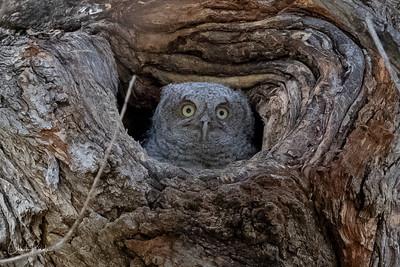 Screech Owl 5/16/2018