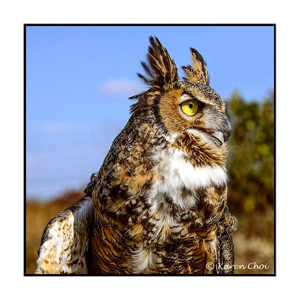 side portrait great horned owl sm.jpg