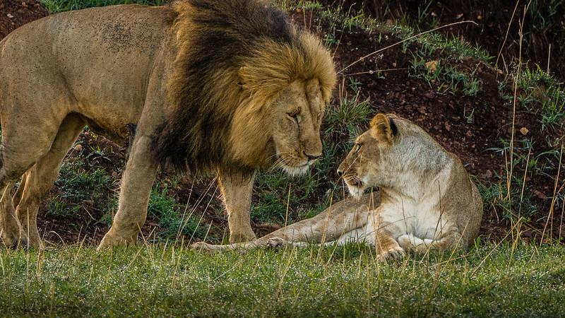 Lions-0128-2.jpg