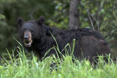 2012 Whistler Bears