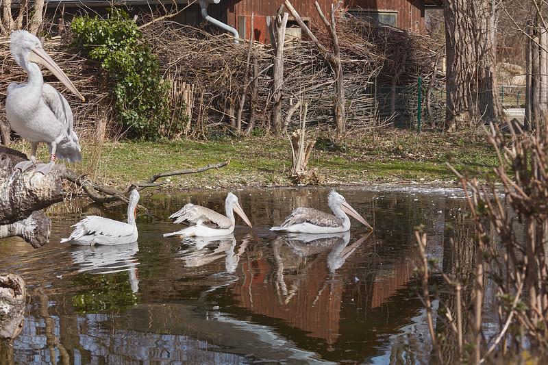 Three swimming pelicans
