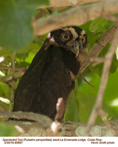 Spectacled Owl A85697.jpg