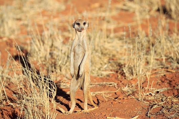 Meerkat Forage for Food Tswalu South Africa 2016