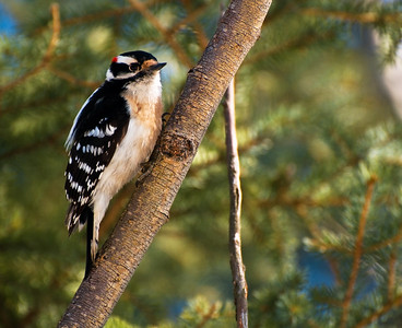 Male Downy Woodpecker  Taken April 3, 2011 Elk Island Retreat Near Fort Saskatchewan, Alberta