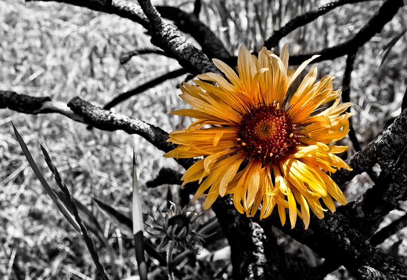 Gold Mountain Flower