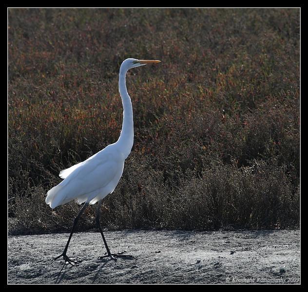 Great Egret, San Elijo Lagoon, San Elijo Nature Center, San Diego County, California, February 2009