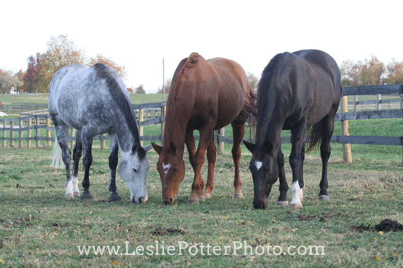 Dapple Gray, Chestnut, and Bay  Horses Grazing Together