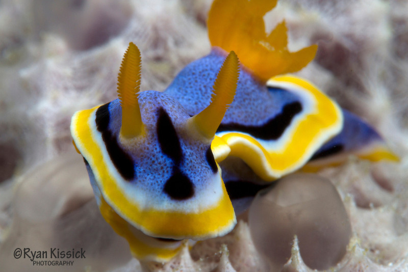 Close-up of one of the Indo-Pacific's intricate nudibranchs