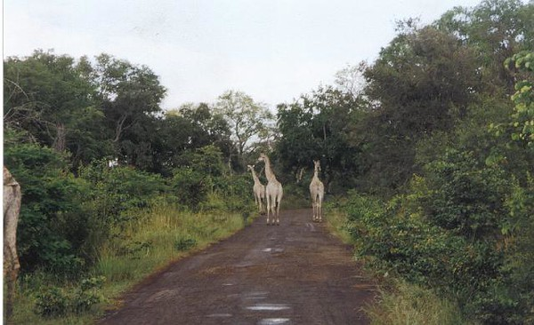 13_Safari_photos_Girafes.jpg