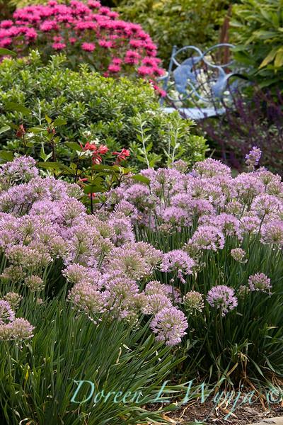 Allium 'ALLMIG1' Millenium garden path