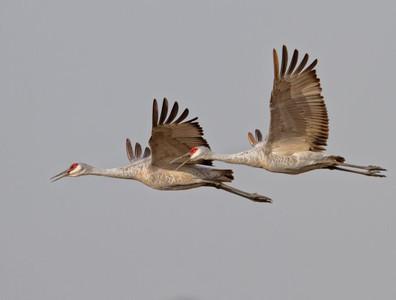 Cranes and Rails (GRUIFORMES)