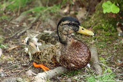 Ducks Set 2