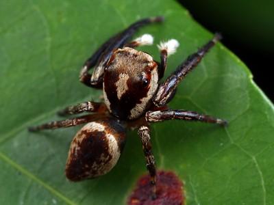 genus Euryattus