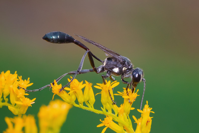 Black Thread-Waisted Wasp