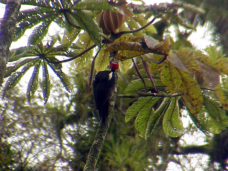 Lineated Woodpecker at El Gavilan Lodge Costa Rica 2-11-03 (50898172)