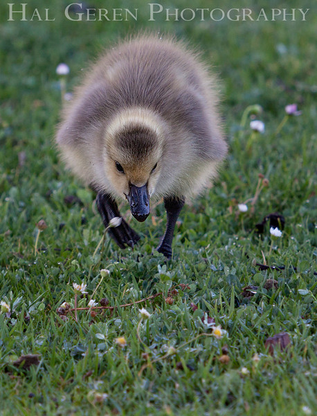 Goslings Newark, California 1304N-G2