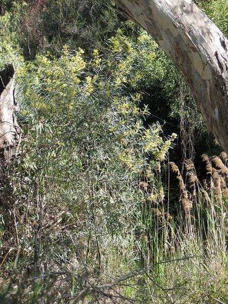 Acacia retinoides / Wirildra