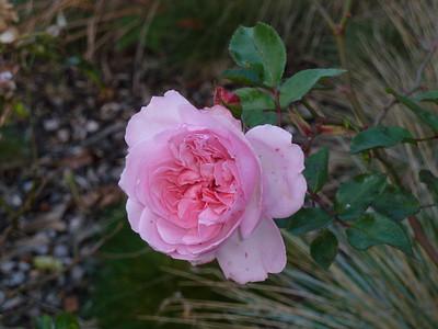 Roses -1