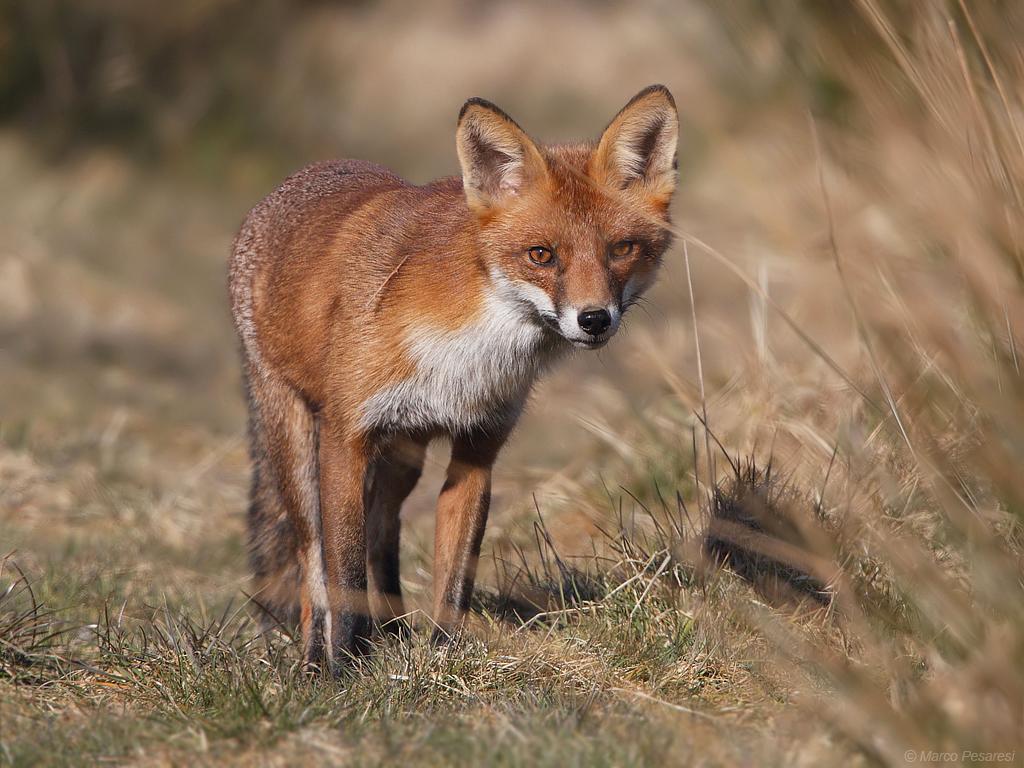 12. Red Fox