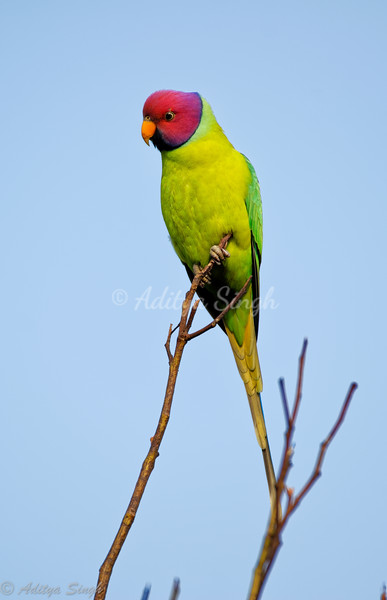 Parrot & Parakeets