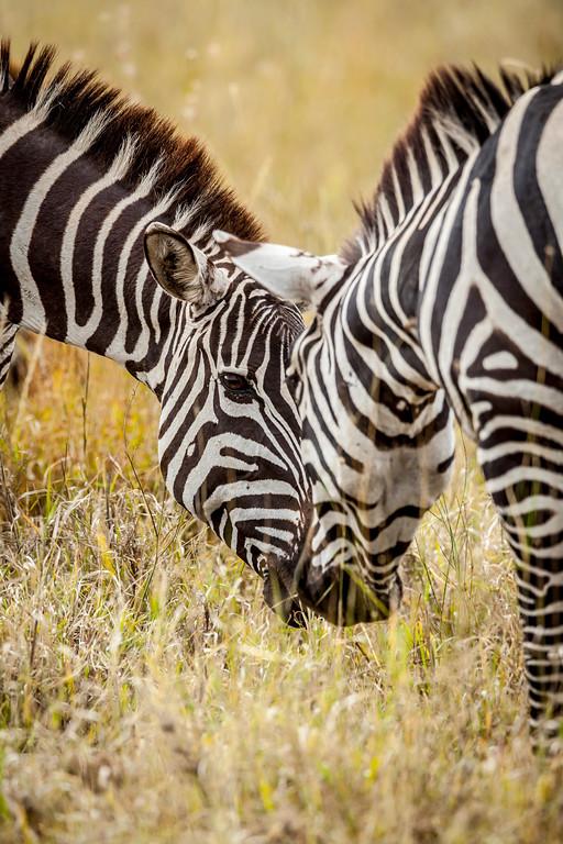 Zebras in the Serengeti.