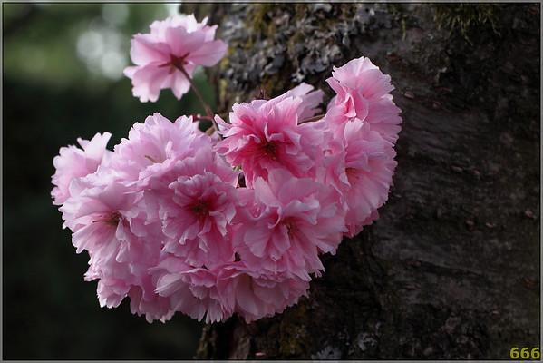 2011-04-10 Printemps Cerisiers