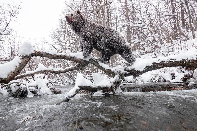 Ice Bears0001.jpg