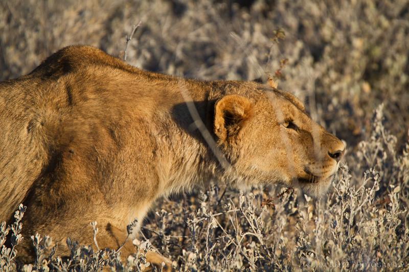 Lion stalking a zebra thru the brush. Etosha National Park, Namibia.