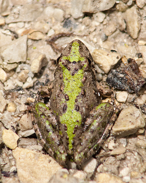 C_4644 Blanchards Cricket Frog Pattern.jpg