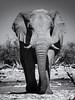 BW Bull Elephant