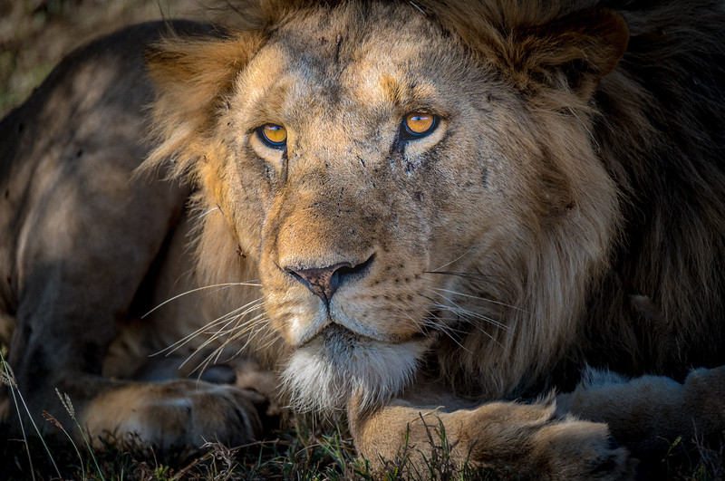 Male Lion at Rest