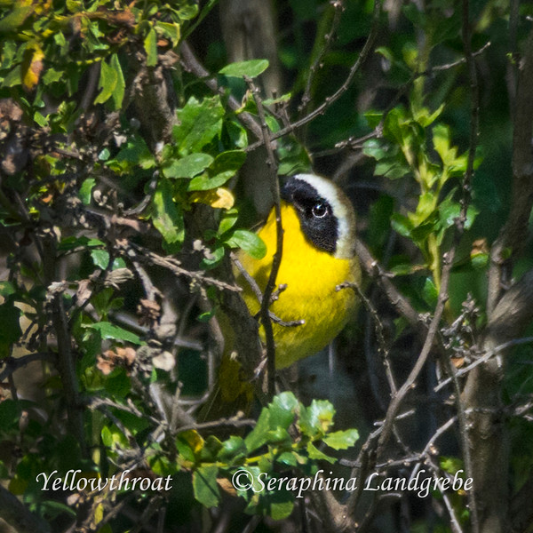 _DSC4235Yellow throat.jpg