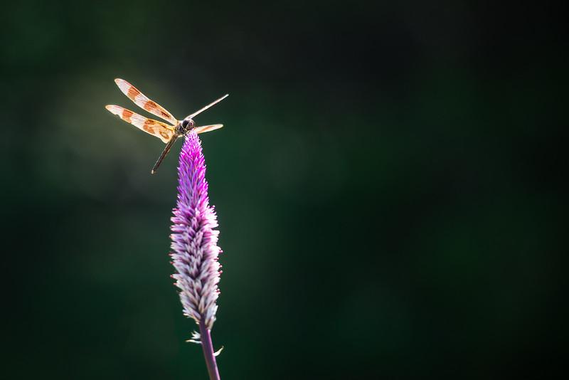 web dragonfly.jpg